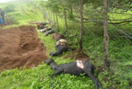 Em um dos ataques vários animais foram mortos (Foto: 7 segundos)